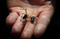 Madison-River-Standby,-the-Girdle-Bug